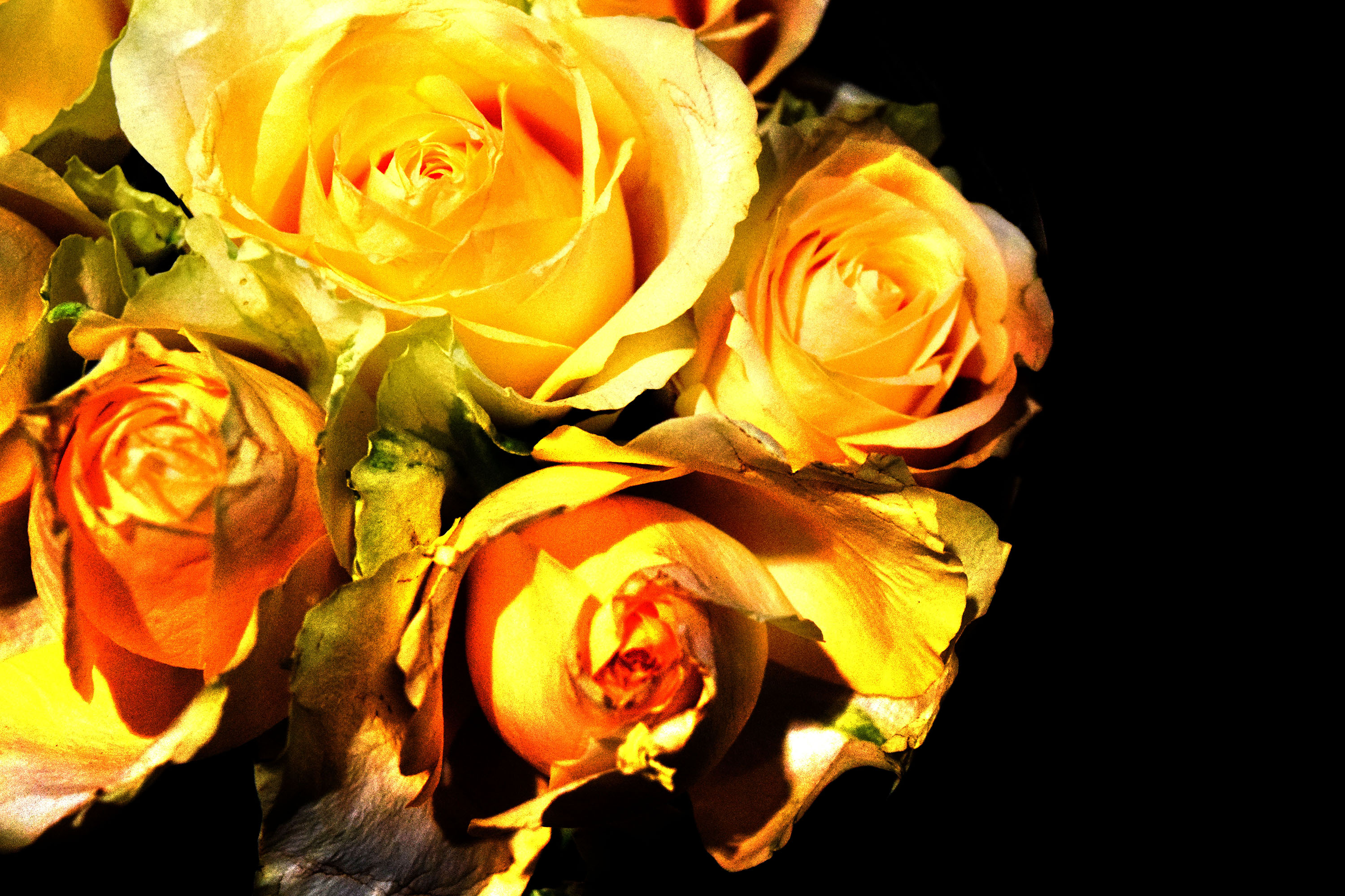 Yellow roses edited